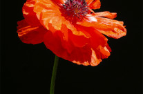 A poppy grown in our gardens.