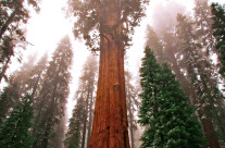 Sequoia National Park California, one of the largest trees named General Sherman. The altitude here is 8 thousand feet above sea level.