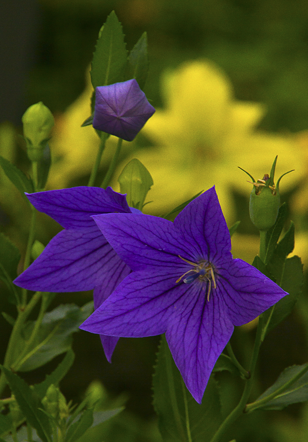 Detail image of a balloon flower. The early buds appear as small balloons until they unfold.